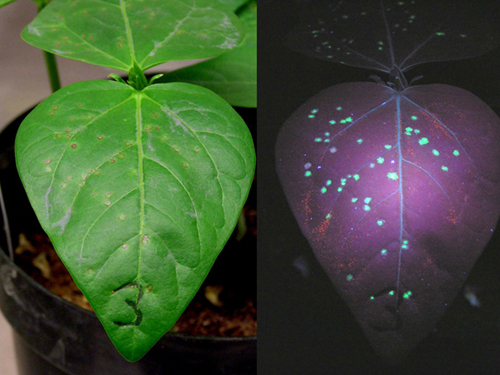 NGICA-Network for the Genetic Improvment of Cowpea