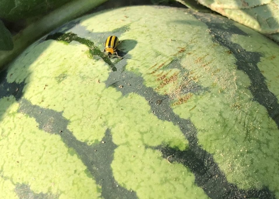 Melon Close-up