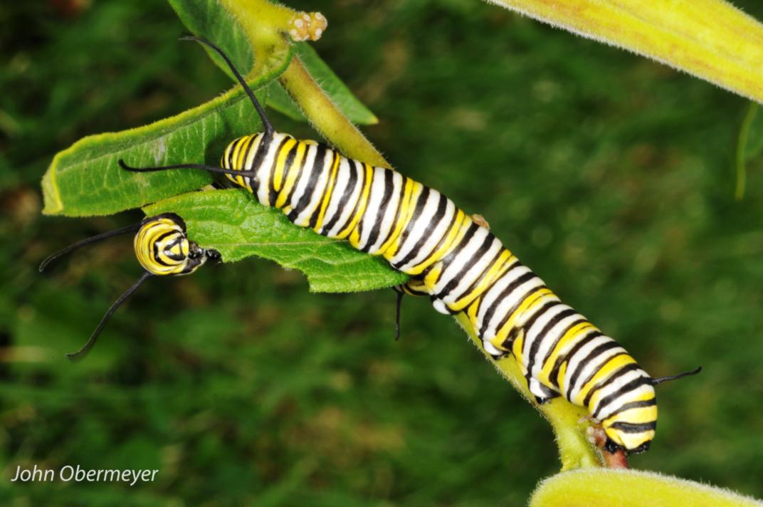 Obermeyer Caterpillar