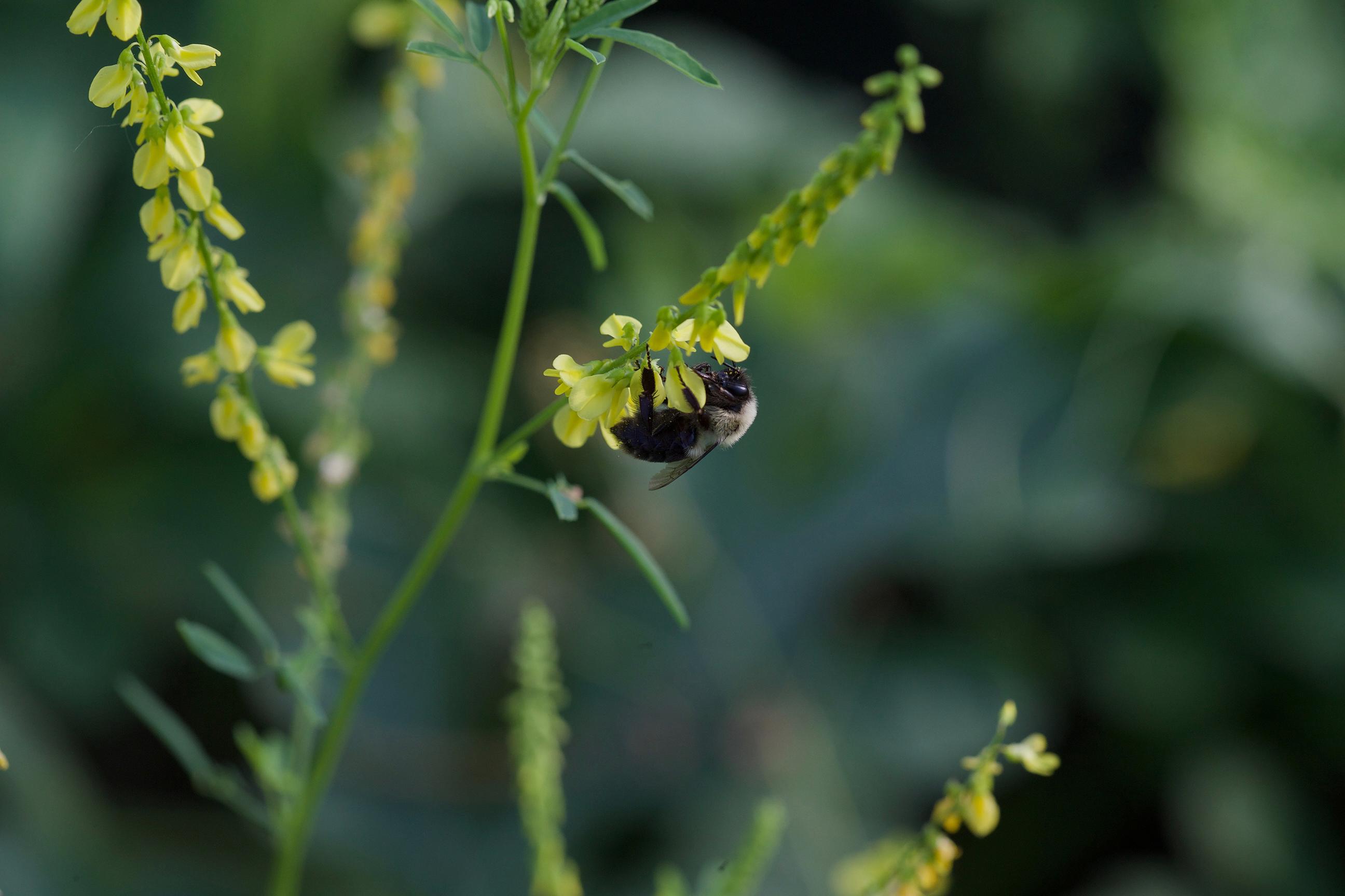 Bumblebee clover banner