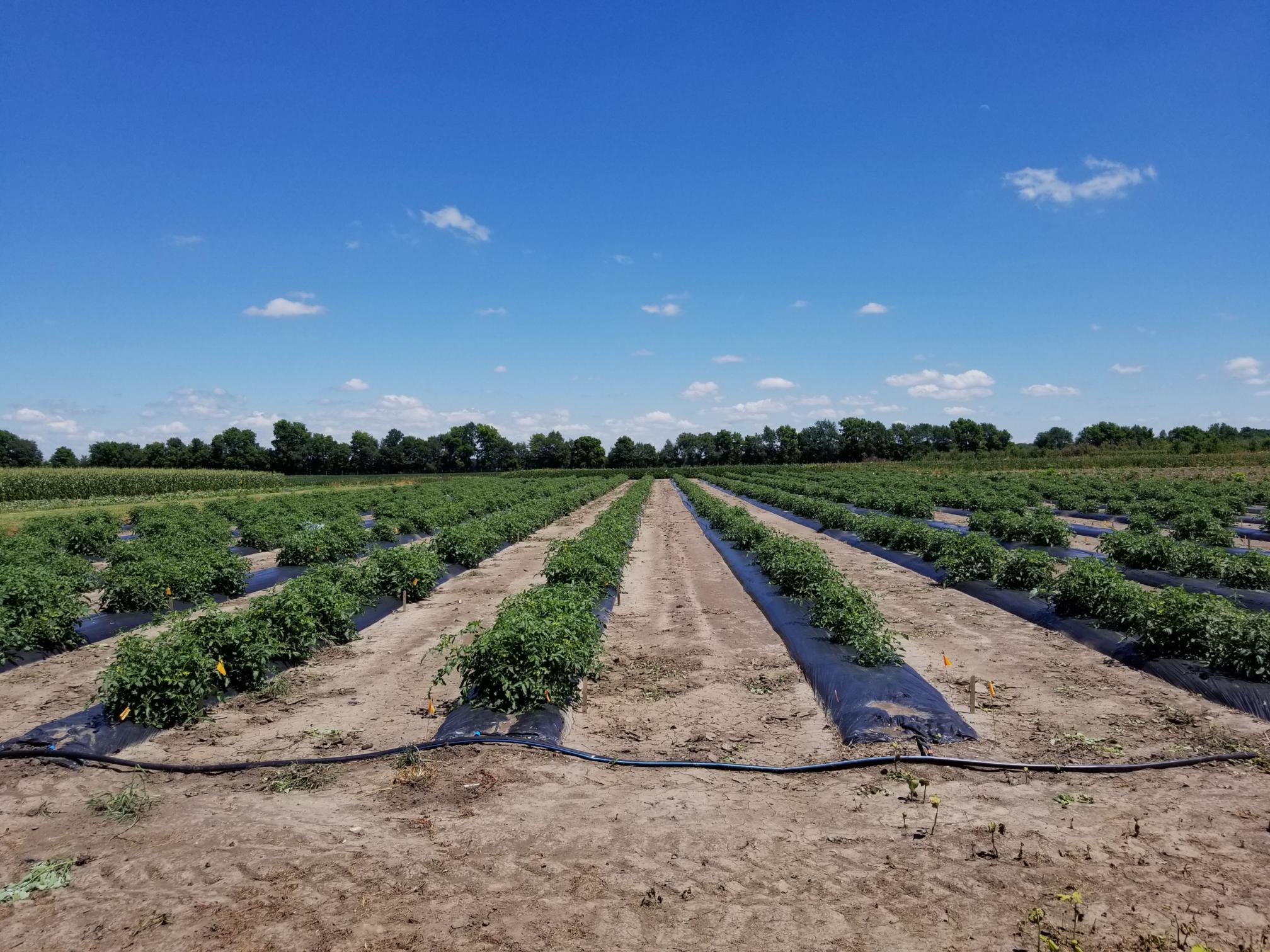 Tomato Field Banner