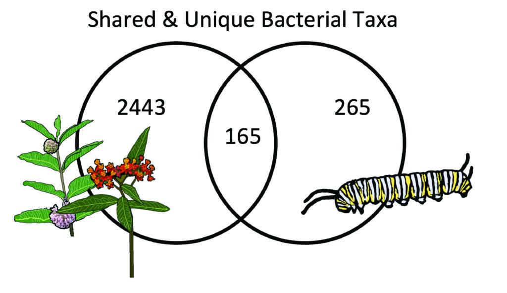 Milkweed Herbivore Microbiomes